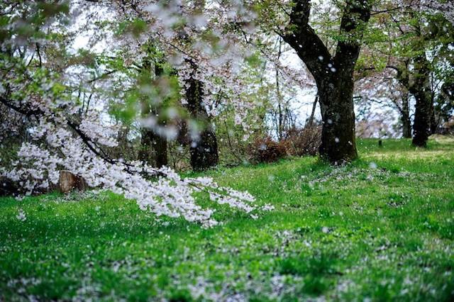 桜と死生観・無常観・武士道