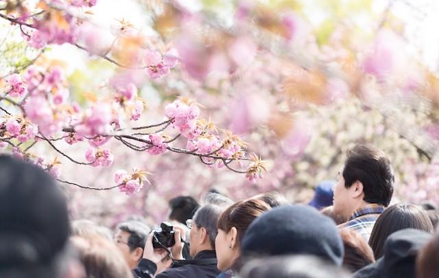 桜にご注意