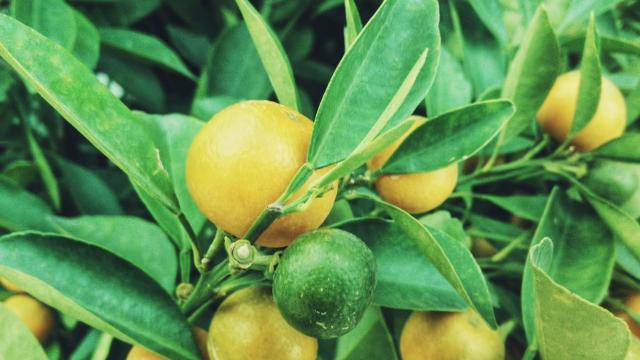 レモンの木のイメージ