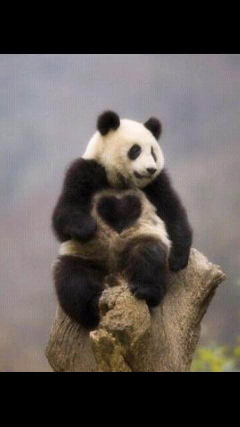 ハートのパンダの写真で引き寄せ